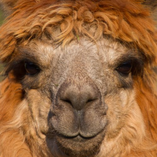 Alpaca portrait with brown hair