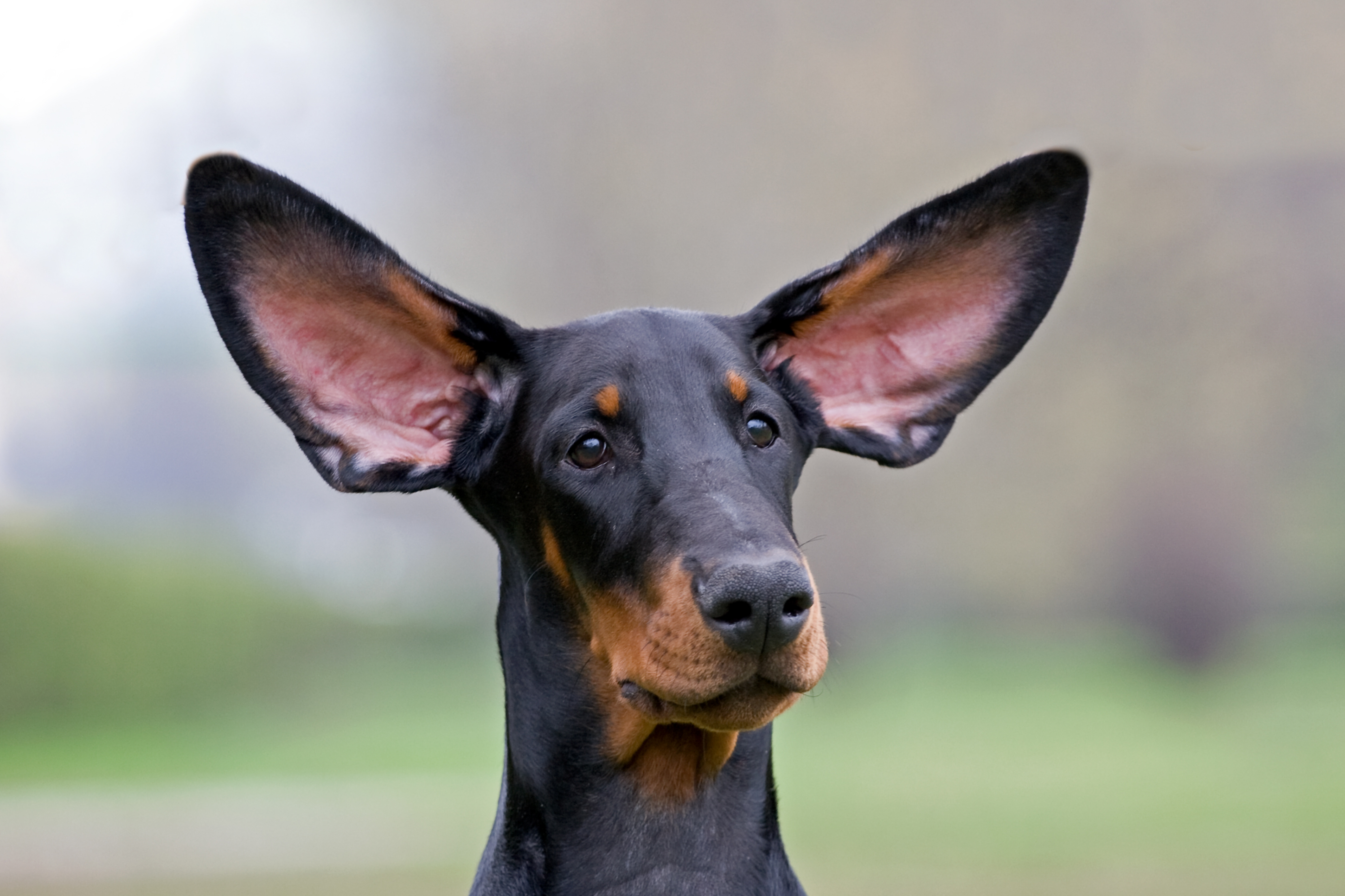 Dobermann puppy portrate, flying ears